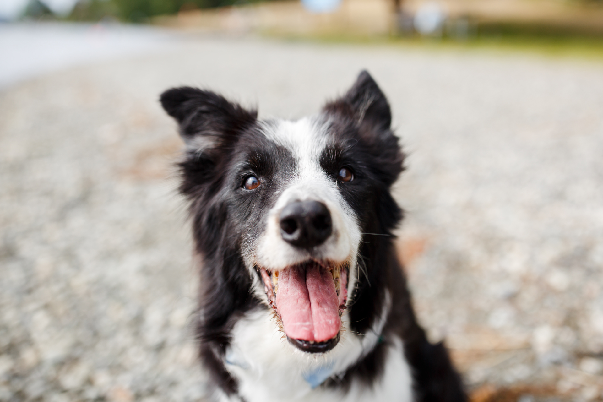 New Book About Chaser, the Border Collie Who Knows a Thousand Border collie photo contest