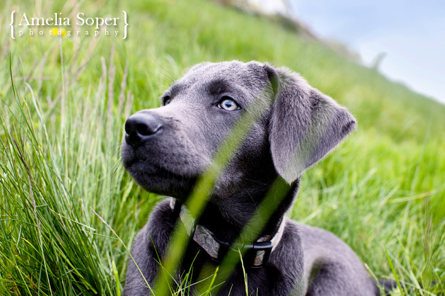 Beautiful Bowden the Charcoal Lab | Woodinville Pet Photography