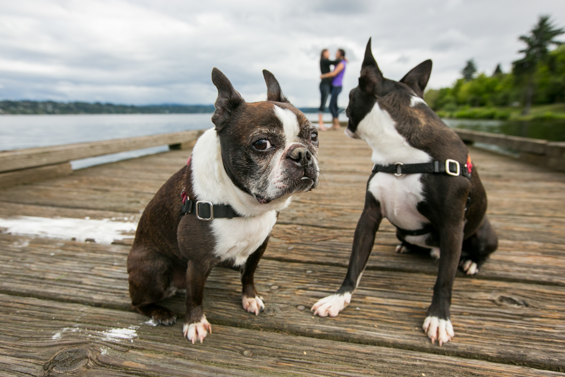 2-boston-terriers-seattle
