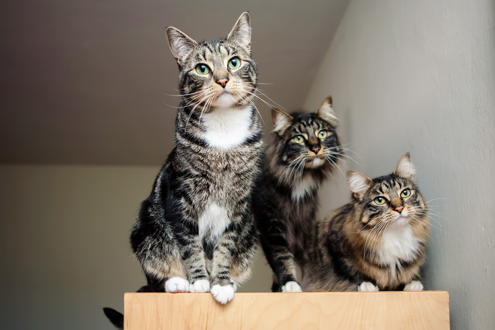 3-cats-tabby-seattle