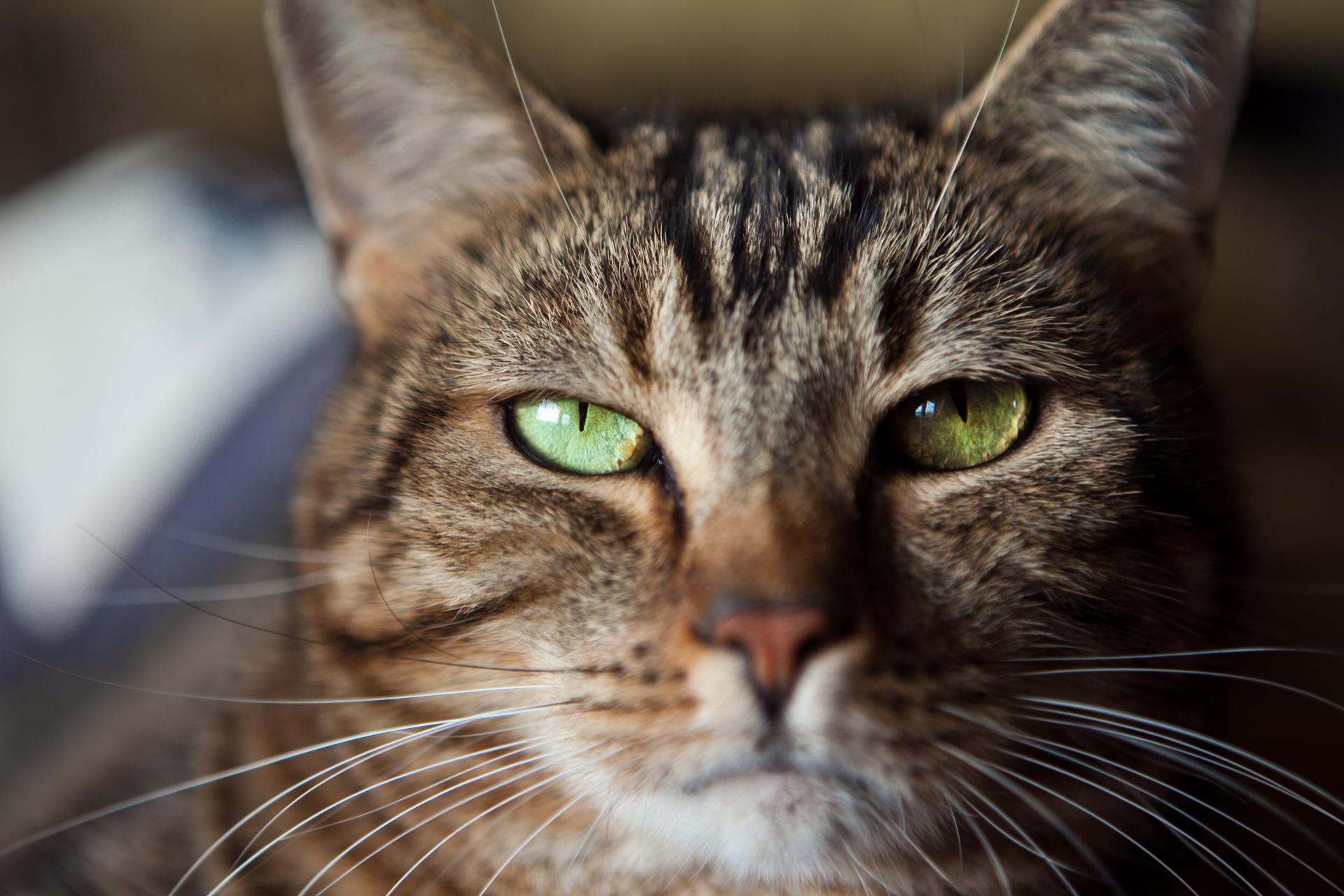 brown-tabby-cat-green-eyes | Amelia Soper Photography