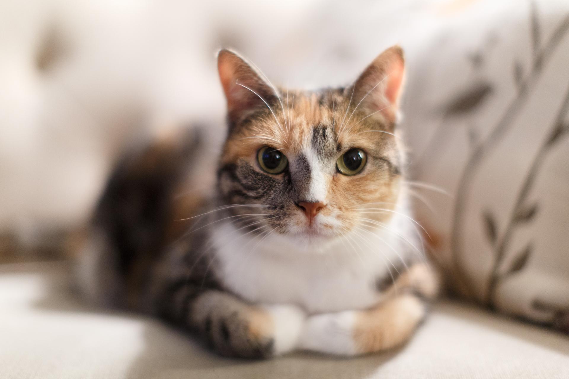 calico-cat-seattle