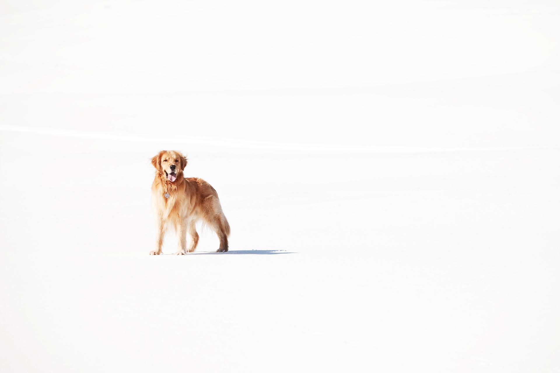 golden-retriever-snow-seattle