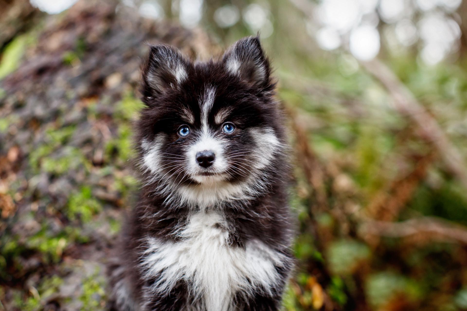 pomski-pomeranian-husky-puppy