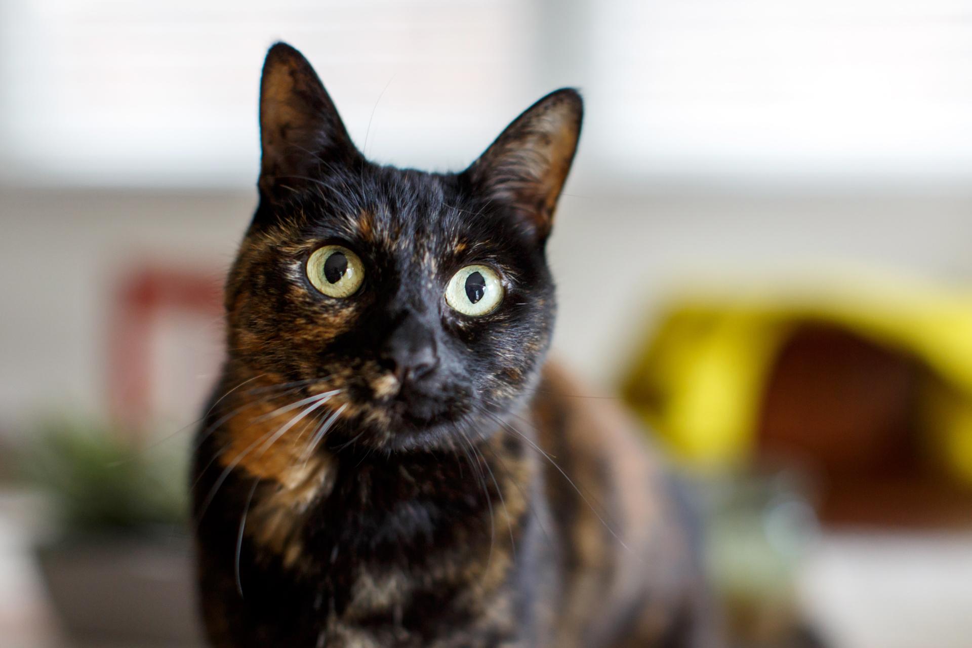 toroiseshell-cat-portrait