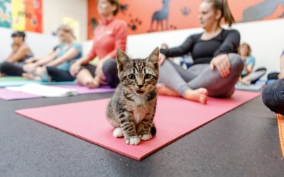 Whiskers + Warrior Pose : Kitten Yoga at Homeward Pet Animal Shelter